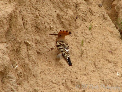 "Hoopoe (or ""hud hud"" in Arabic)"