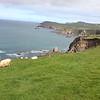 Sheeps on Coumeenoole Sea Walls