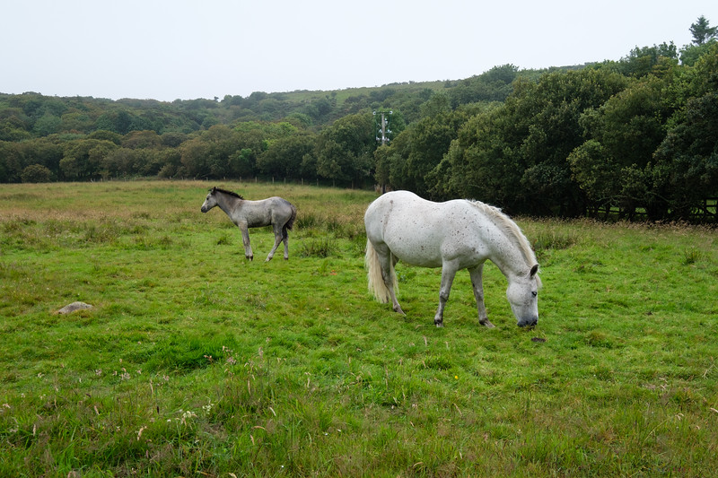 The ponies are native to Connemara and some believe their ancestors were brought over by Vikings.  Other legends say that they are the result of Irish Ponies intermingling with Andalusians that swam ashore after the Spanish Armada ran aground off Galway in the 16th Century.