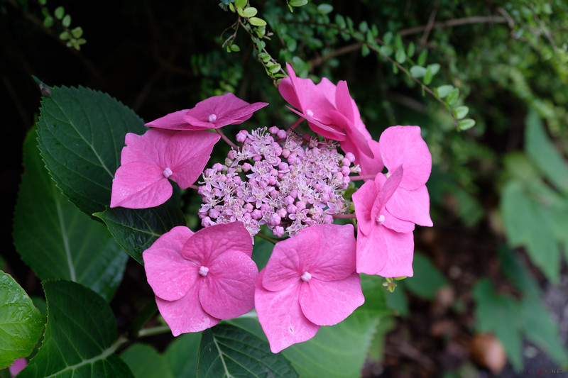 Lacecap Hydrangea - We saw beautiful hydrangeas of every type and color all over the country.