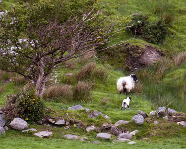 Sheep at Shronebirrane Stone Circle,  County Kerry, Ireland