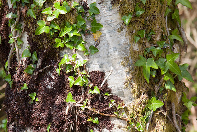 Tree with ivy and moss in Bonane Heritage Park, County Kerry, Ireland