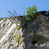 Ferns growing in the cracks of the stone wall of a home in Rosscarbery