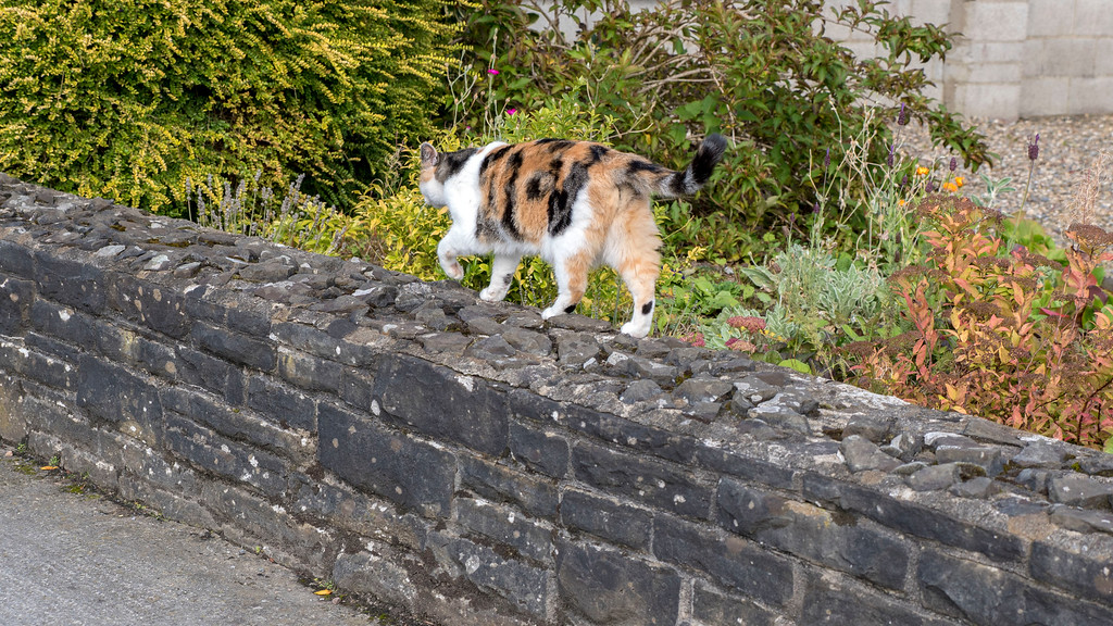 Things to do in Adare - What to do in Adare - Cat in Adare