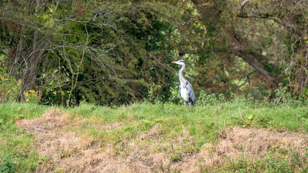 Things to do in Adare - Adare River Bank Walk - What to do in Adare - Countryside - Grey Heron