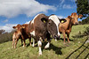 Cattle, Beara Peninsula, Adrigole, Cork, Ireland.