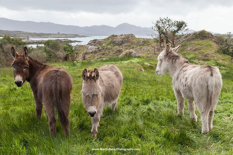 Donkeys, Faunkill, Beara Peninsula, Cork, Ireland.