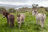 Donkeys, Faunkill, Beara Peninsula, Cork, Ireland.