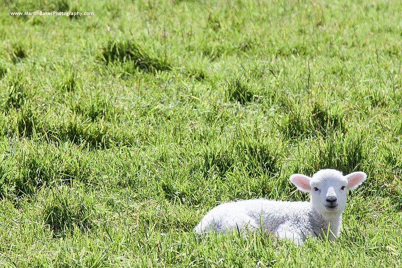 Lamb, Bere Island, Beara Peninsula, Cork, Ireland.