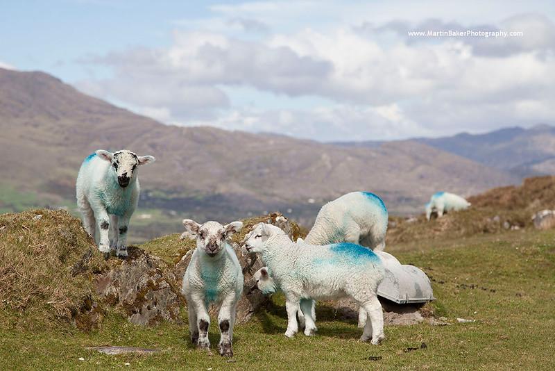Lambs, Bere Island, Beara Peninsula, Cork, Ireland.