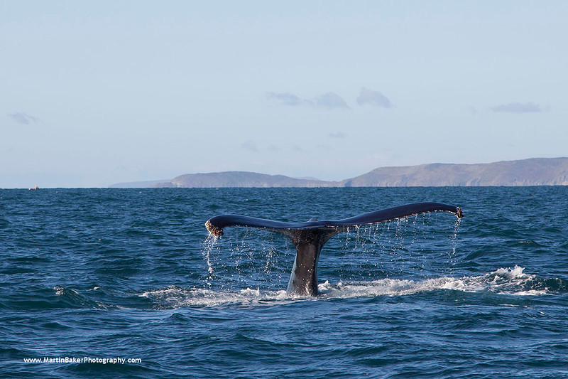Humpback Whale, Cork, Ireland.