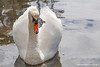 Mute Swan, Oakmount, Castletownbere, Beara Peninsula, Cork, Ireland.