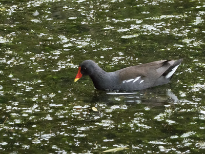 Moorhen in park pond. Dublin.