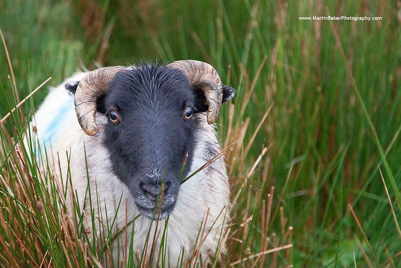 Blackface Sheep, Connemara, Galway, Ireland.