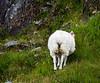 Sheep at Glan Moore