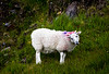 Sheep at Glan Moore