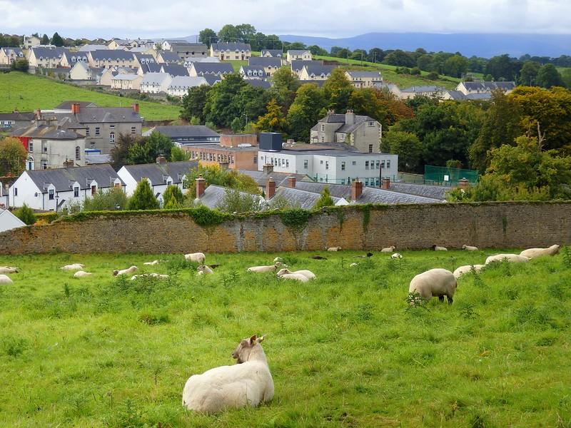 Fields of sheep in Ireland