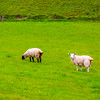 Sheep in an Irish field in Ballintoy, County Antrim Northern Ireland - 2