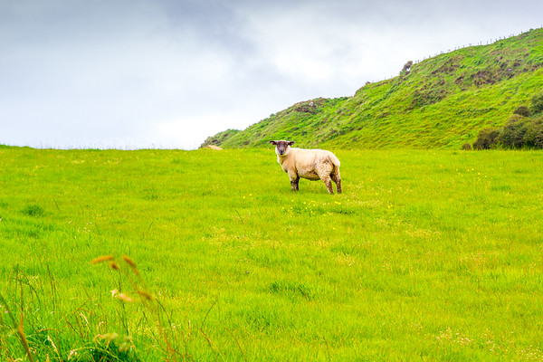 An Irish sheep looking at me in a field in Ballintoy, County Antrim Northern Ireland