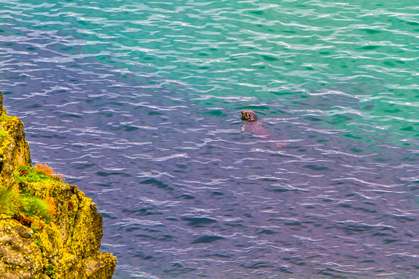 Seal in the water off the Causeway Coastline - Ballintoy, County Antrim Northern Ireland