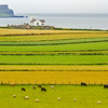 Sheep and cows in Irish fields with house in the background on the Causeway Coastline - County Antrim Northern Ireland