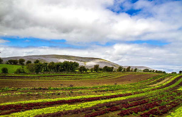 Crops in a field in front of small hill bathed in sun - County Clare - Ireland