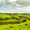Cows lying down in Irish hillocks with fields divided by shrubbery in County Clare - Ireland