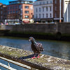 Pidgeon on a railing by the Liffy River - Dublin