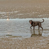 Black Labrador in the Dublin Bay at low tide - Dublin Ireland