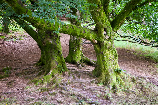 3 tree trunks in the glendalough Forest