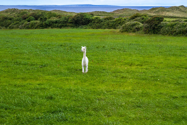 Alpaca in an Irish field - Ireland