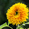 Goldy Honey Bear Sunflower - helianthus annuus