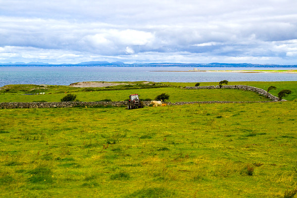 Cows and tractor in field in front of bay and old tower in the distancein the bay