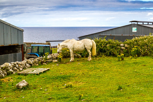 Irish horse eating wildflowers in small field by tractor and sheds - Ireland