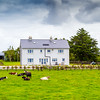Irish farm house and cows in a field