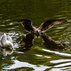 Juvenile European herring gull landing with wings out stretched and reflection in water