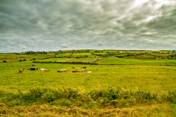 Cows in an Irish field