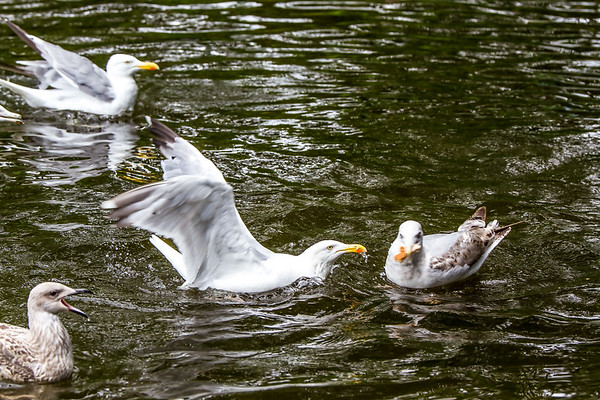 Adult European herring gull fighting over food