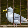 Adult European herring gull behind bar