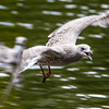Juvenile European herring gull flying low over water - open beak