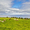 Cows in an Irish field overlooking the Atlantic Ocean - Ireland