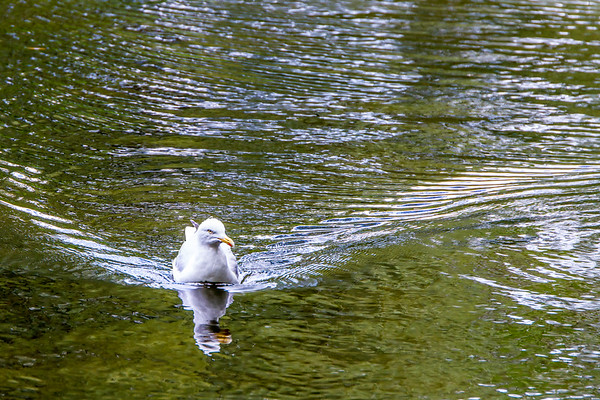 Adult European herring gull floating in wake