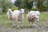 Sheep, Kenmare, Beara Peninsula, Kerry, Ireland.