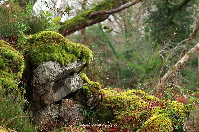 Reenadinna Woods, Killarney National Park, Killarney, Iveragh Peninsula, Kerry, Ireland.