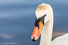Mute Swan, Castletown House, Celbridge, Kildare, Ireland.