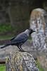 Jackdaw - Small Irish Crow