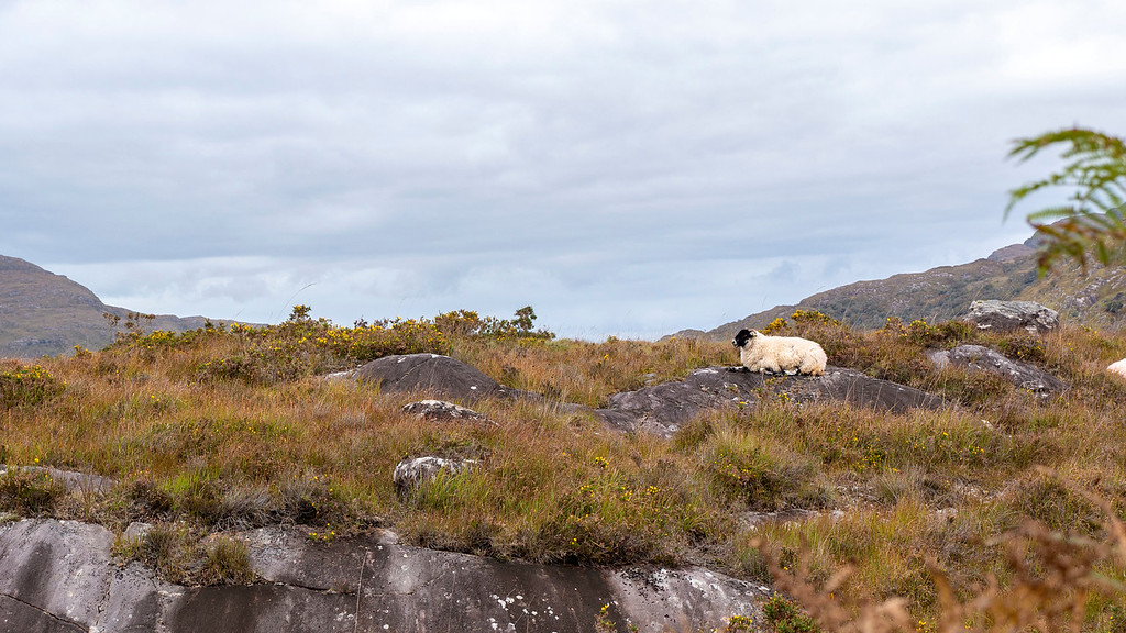 Sheep on the Ring of Kerry, Killarney
