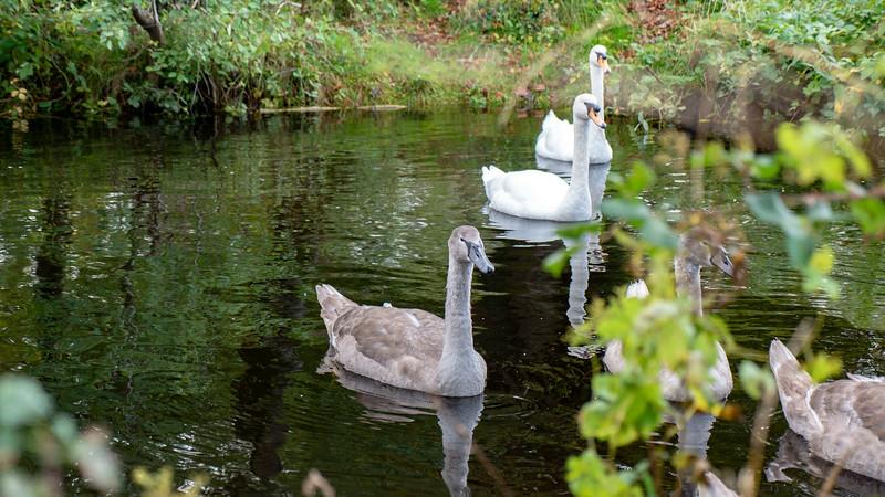 Swans in Killarney National Park near Ross Castle
