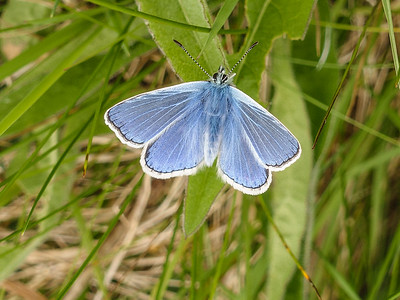 Common blue butterfly, Burren Nat'l Park