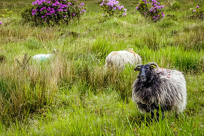 Irish sheep near the Lough Inagh Lodge